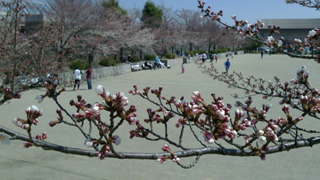 桃源郷の桜2.jpg