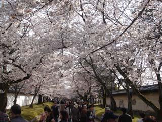 桜の回廊.JPG